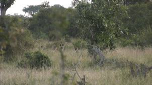 Safari Live : Wild dogs on the hunt